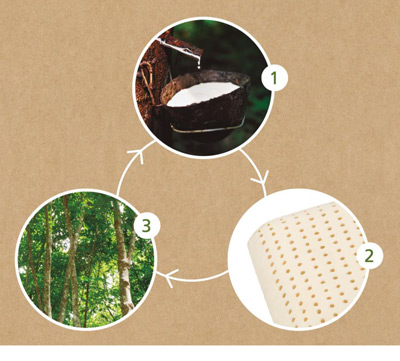 Procesos de obtención del Látex Puro Natural utilizado para la Almohada Velfont Natura